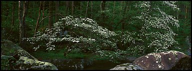 Dogwood trees blooming in forest. Great Smoky Mountains National Park (Panoramic color)