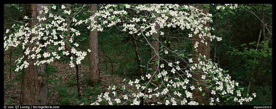 Branches with dogwood flowers. Great Smoky Mountains National Park (color)