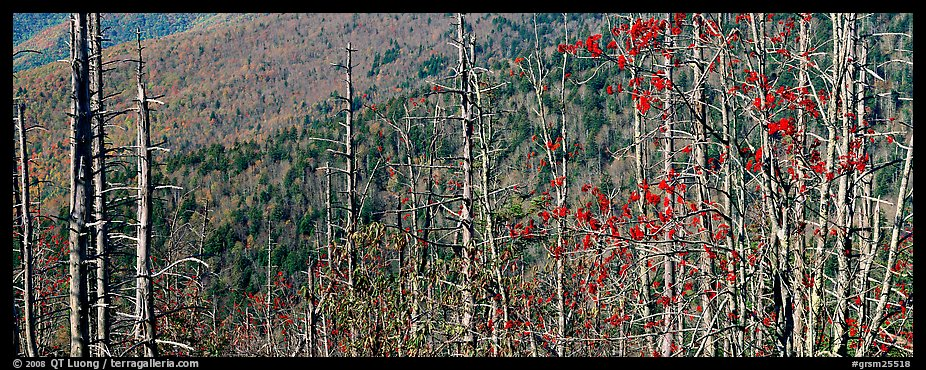 Bare trees with red berries against hill backdrop. Great Smoky Mountains National Park, USA.
