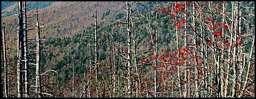 Bare trees with red berries against hill backdrop. Great Smoky Mountains National Park (Panoramic color)