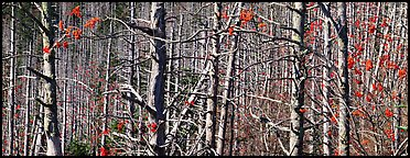 Forest in the fall with red berries. Great Smoky Mountains National Park (Panoramic color)