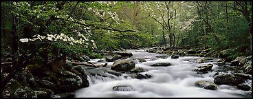 Dogwoods and river in the spring. Great Smoky Mountains National Park (Panoramic color)