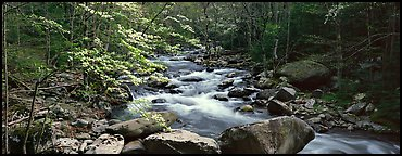 Forest scenery with dogwood blooming, stream, and boulders. Great Smoky Mountains National Park (Panoramic color)