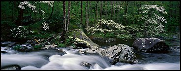 Spring forest scene with stream and dogwoods in bloom. Great Smoky Mountains National Park (Panoramic color)