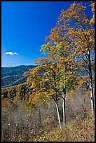 Trees in autumn colors and mountain vista, North Carolina. Great Smoky Mountains National Park, USA.