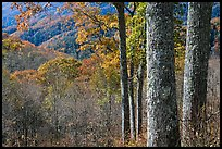 Tree trunks, distant valley, and fall colors, North Carolina. Great Smoky Mountains National Park, USA.