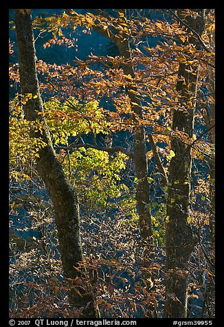 Backlit trees in fall foliage, Balsam Mountain, North Carolina. Great Smoky Mountains National Park (color)