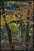Backlit trees in fall foliage, Balsam Mountain, North Carolina. Great Smoky Mountains National Park, USA.
