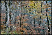 Trees in autumn colors in muted light, Balsam Mountain, North Carolina. Great Smoky Mountains National Park, USA.