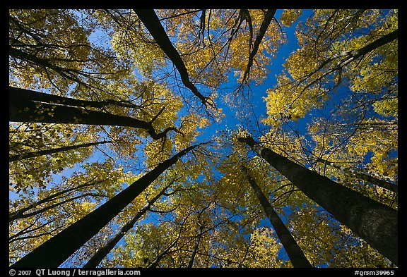 Looking up forest in fall color, Tennessee. Great Smoky Mountains National Park, USA.