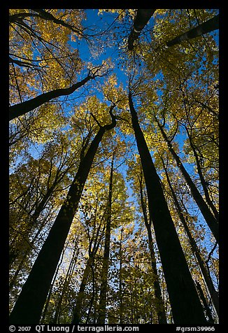 Looking up forest in fall foliage, Tennessee. Great Smoky Mountains National Park, USA.