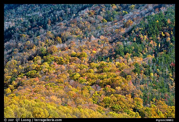 Trees in fall colors on slope, Tennessee. Great Smoky Mountains National Park (color)