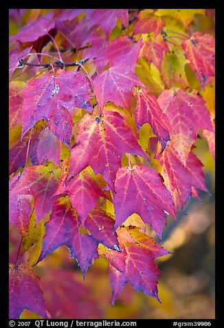 Close-up of leaves in fall color, Tennessee. Great Smoky Mountains National Park, USA.