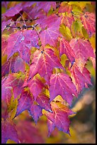 Close-up of leaves in fall color, Tennessee. Great Smoky Mountains National Park, USA. (color)