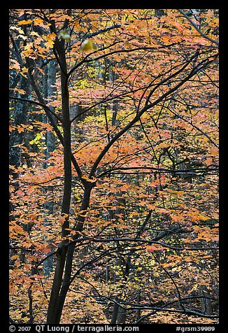 Trees with bright orange leaves, Tennessee. Great Smoky Mountains National Park (color)