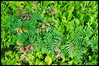 Close-up of ferns and leaves, Cataloochee, North Carolina. Great Smoky Mountains National Park ( color)