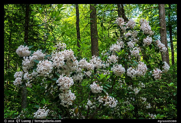 Mountain Laurel in bloom, Cataloochee, North Carolina. Great Smoky Mountains National Park (color)