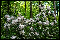 Mountain Laurel in bloom, Cataloochee, North Carolina. Great Smoky Mountains National Park ( color)