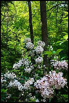 Mountain Laurel blooming in forest, Cataloochee, North Carolina. Great Smoky Mountains National Park ( color)