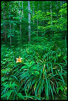 Orange day-lily (hemerocallis fulva) in lush forest, Elkmont, Tennessee. Great Smoky Mountains National Park ( color)