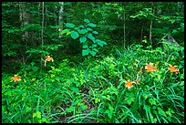 Ditch Lilies ((hemerocallis fulv) in lush forest, Elkmont, Tennessee. Great Smoky Mountains National Park ( color)
