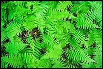 Close-up of ferns, Elkmont, Tennessee. Great Smoky Mountains National Park ( color)