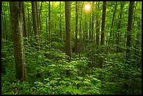 Forest with sunstar, Elkmont, Tennessee. Great Smoky Mountains National Park ( color)