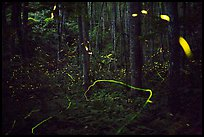 Light trails of Synchronous and Blue Ghost fireflies, Elkmont, Tennessee. Great Smoky Mountains National Park ( color)