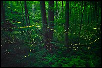 Light trails of Synchronous fireflies, Elkmont, Tennessee. Great Smoky Mountains National Park ( color)