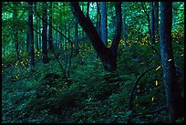 Synchronous fireflies (Photinus carolinus), early evening, Elkmont, Tennessee. Great Smoky Mountains National Park ( color)