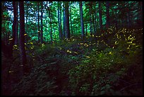Light bugs in forest, Elkmont, Tennessee. Great Smoky Mountains National Park ( color)