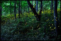 Synchronous Fireflies, Elkmont, Tennesee. Great Smoky Mountains National Park ( color)