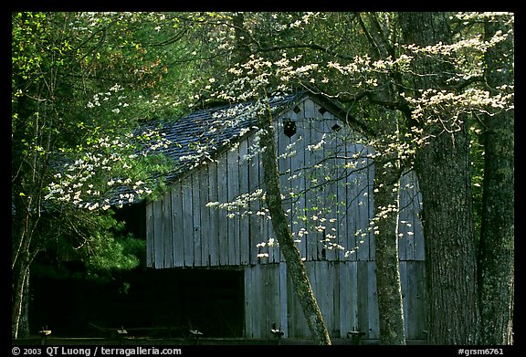 Historical barn with flowering dogwood in spring, Cades Cove, Tennessee. Great Smoky Mountains National Park, USA.