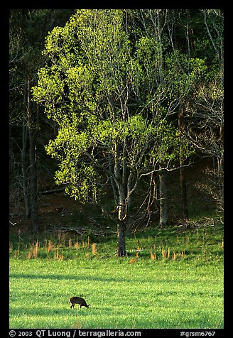Deer in meadow and forest, Cades Cove, Tennessee. Great Smoky Mountains National Park, USA.