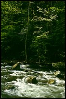 Sunlit Little River and dogwood tree in bloom, early morning, Tennessee. Great Smoky Mountains National Park ( color)