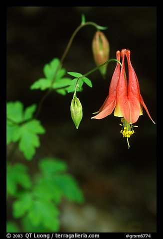 Red Columbine (Aquilegia candensis) close-up, Tennessee. Great Smoky Mountains National Park, USA.