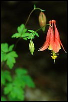 Red Columbine (Aquilegia candensis) close-up, Tennessee. Great Smoky Mountains National Park, USA. (color)