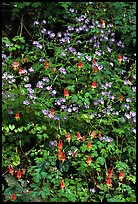 Blue forget-me-nots and Red Columbine, Tennessee. Great Smoky Mountains National Park ( color)