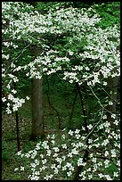 Dogwood tree with white blooms, Tennessee. Great Smoky Mountains National Park, USA.