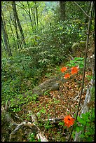 Flame Azaleas along Laurel Falls trail, Tennessee. Great Smoky Mountains National Park ( color)