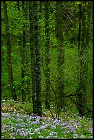 Forest with undergrowth of blue flowers, North Carolina. Great Smoky Mountains National Park ( color)