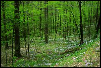Forest in spring with wildflowers, North Carolina. Great Smoky Mountains National Park ( color)