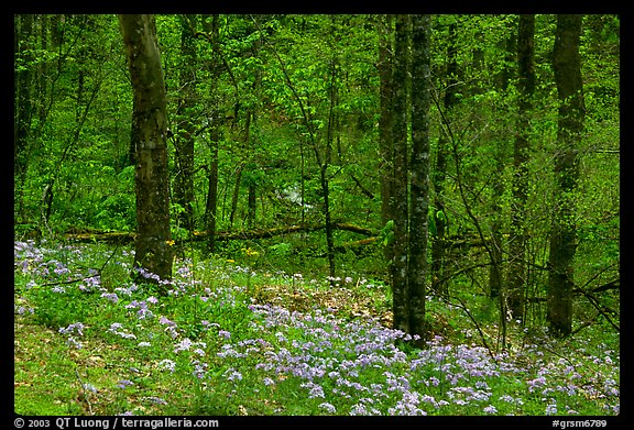 Carpet of white and blue wildflowers in spring forest, North Carolina. Great Smoky Mountains National Park, USA.