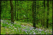 Carpet of white and blue wildflowers in spring forest, North Carolina. Great Smoky Mountains National Park ( color)