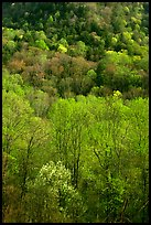 Verdant trees and hillside in spring, late afternoon, Tennessee. Great Smoky Mountains National Park ( color)