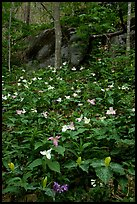 Multicolored Trillium in spring forest, Chimney area, Tennessee. Great Smoky Mountains National Park, USA. (color)