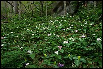 Carpet of multicolored Trilium in forest, Chimney area, Tennessee. Great Smoky Mountains National Park, USA. (color)