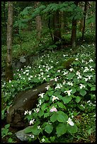 Carpet of White Trilium in verdant forest, Chimney area, Tennessee. Great Smoky Mountains National Park, USA. (color)