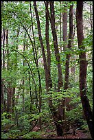 Spring Forest in rain, Chimney area, Tennessee. Great Smoky Mountains National Park ( color)