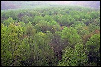 Forest canopy in spring, Tennessee. Great Smoky Mountains National Park ( color)